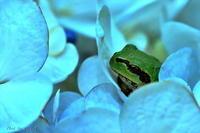 みちのく紫陽花3 - みちのくの大自然