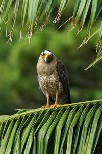 カンムリワシ(Crested serpent eagle)/2018.06 - Birding  in  Japan!