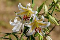 早野の山百合 - あだっちゃんの花鳥風月