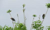 コムクドリがたくさん - 湿原と海のそばで