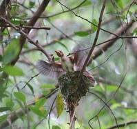 巣立ち、、 - ぶらり探鳥