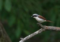 遠征 チゴモズ 4 - 今日も鳥撮り