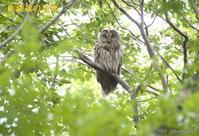 フクロウ - 奥武蔵の自然