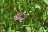 北海道蝶旅行 1日目その3(2018/06/30) - Sky Palace -butterfly garden- II