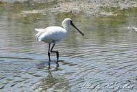 南の島の池の鳥さん達♪「クロツラヘラサギ」さん「セイタカシギ」さん♪ - ケンケン&ミントの鳥撮りLifeⅡ