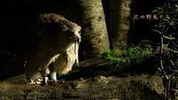 シマフクロウ - 北の野鳥たち