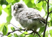 エゾフクロウの特徴は、他亜種に比べて白っぽいこと - THE LIFE OF BIRDS ー 野鳥つれづれ記