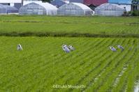 アオサギの集会 - ekkoの --- four seasons --- 北海道