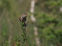 高原のホオアカ - 『彩の国ピンボケ野鳥写真館』