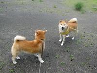動きまくる柴犬動かない柴犬 - オーク、熟成中