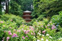 岩船寺の紫陽花&奈良公園 - ぐっちのBlog