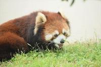 もふてく☆ゴールデンパン祭り2018京都編・その3 - レッサーパンダ☆もふてく放浪記