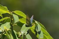 6月の蝶の紹介。高尾周辺〜2018年6月3日,9日 - 蝶・花・山~自然の色使い