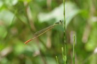 炎天下のイトトンボ - 蝶と蜻蛉の撮影日記