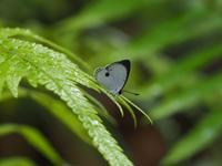 西表の蝶リュウキュウウラボシシジミとヒメシルビアシジミByヒナ - 仲良し夫婦DE生き物ブログ