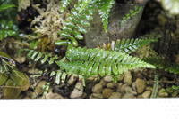 "Polypodium sp. ""Pulau Ambon"" - PlantsCade -2nd effort"