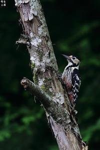 目の前にオオアカゲラ - 野鳥公園