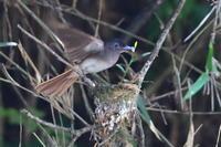 巣作りするサンコウチョウ - 上州自然散策2