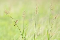 マキノセンニュウ - 北の野鳥たち
