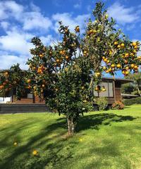 柑橘類に急襲されています/ Bombarded by Citrus Fruit - アメリカからニュージーランドへ