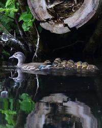 オシドリはクマゲラの古巣を利用して営巣することも - THE LIFE OF BIRDS ー 野鳥つれづれ記