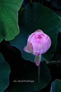蓮の花 - A  B  C