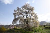 高山村 和美の桜 - photograph3