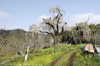 高山村 横道のしだれ桜 - photograph3