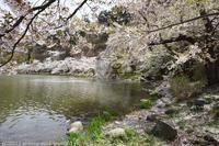 臥竜公園 桜 - photograph3