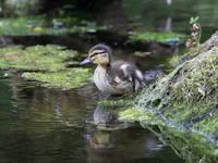 高原でマガモの雛たち - 『彩の国ピンボケ野鳥写真館』