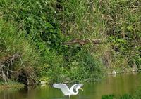 ダイサギの獲物を横取りしようとするトビ・・・浅川(八王子) - 浅川野鳥散歩