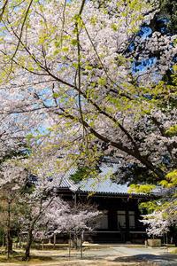 桜咲く京都2018桜彩る参道(粟生光明寺) - 花景色-K.W.C. PhotoBlog