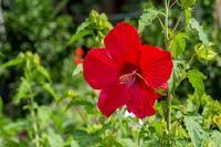 アメリカフヨウ - あだっちゃんの花鳥風月