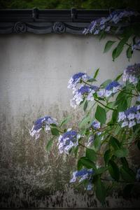 ☆ 紫陽花 ☆ - ON ANY SUNDAY 2.............