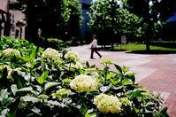 やっと開花した紫陽花と豪雨と梅雨明け - 照片画廊
