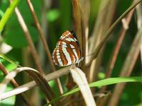西表の蝶リュウキュウミスジとアオタテハモドキとヤエヤマカラスアゲハByヒナ - 仲良し夫婦DE生き物ブログ