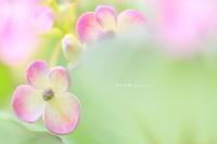渦紫陽花 - 花々の記憶