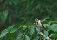 遠征 チゴモズ 終 - 今日も鳥撮り