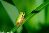 日本雨蛙 - harley-katydid