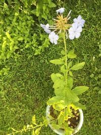 梅雨明けの庭 - 花の自由旋律