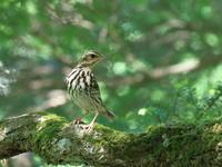 日光の野鳥20180630 - 『彩の国ピンボケ野鳥写真館』