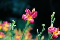 長居植物園の季節の花々とトンボたち@2018-06-30 - (新)トラちゃん&ちー・明日葉 観察日記
