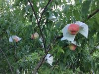 桃の成長 - 自然栽培 果樹カナン