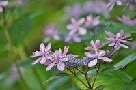 頼光寺の紫陽花 - たんぶーらんの戯言