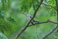 遠くの枝に止まったサンショウクイ - 近隣の野鳥を探して