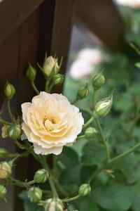 強い薔薇 - 小さな庭 2