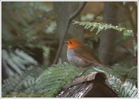 コマドリ・キビタキ・ルリビタキ野鳥園 - 野鳥の素顔 <野鳥と・・・他、日々の出来事>