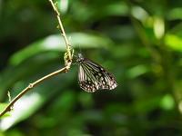 八重山の蝶 ヒメアサギマダラとルリタテハ Byヒナ - 仲良し夫婦DE生き物ブログ