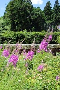 ヤナギランが満開で夏気分♪ - HOME SWEET HOME ペコリの庭 *