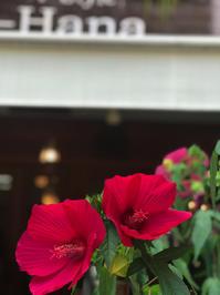 タイタンビカスが咲きました。 - 00aa恵比寿美容室  Hana★癒し系ヘアサロン★《ヘアー・ハナ》